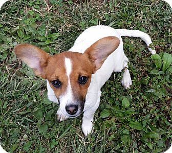 Jack Russell Terrier/Terrier (Unknown Type, Small) Mix Puppy for adoption in Normandy, Tennessee - Gizzy