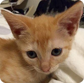 Domestic Shorthair Kitten for adoption in Orlando, Florida - Mindy (KJ) 8.2.16