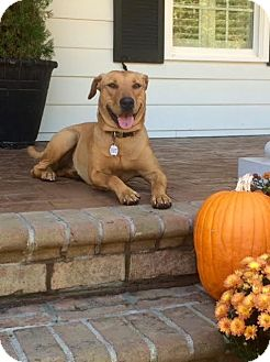 Labrador Retriever Mix Puppy for adoption in Youngsville, North Carolina - Ginger