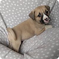 Adopt A Pet :: Grace Pearl - Newport, KY