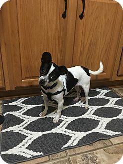 Chihuahua Mix Dog for adoption in Round Lake Beach, Illinois - Toni