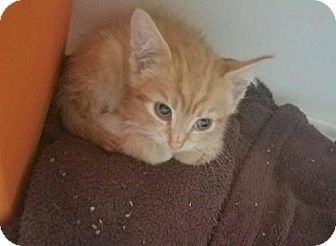Domestic Shorthair Kitten for adoption in Evansville, Indiana - Lacy