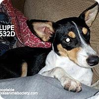 Adopt A Pet :: Lupe - Spring, TX