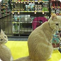 Adopt A Pet :: Sylvie - Overland Park, KS