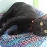 American Shorthair Cat for adoption in Englewood, Florida - CC