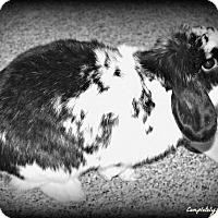 Adopt A Pet :: Bun Bun - Grandville, MI