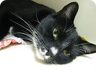 Domestic Shorthair Cat for adoption in Brea, California - Gus