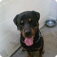 Adopt A Pet :: Kobey - latrobe, PA