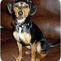 Adopt A Pet :: BeBe - Florissant, MO