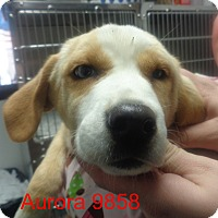 Adopt A Pet :: Aurora - baltimore, MD