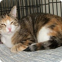 Calico Cat for adoption in Lacon, Illinois - Kam