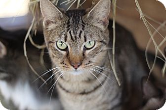 Domestic Shorthair Cat for adoption in Seguin, Texas - shelly