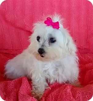 Maltese Dog for adoption in Temecula, California - Willow