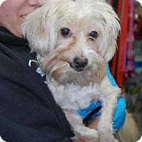 Adopt A Pet :: Medussa - Brooklyn, NY
