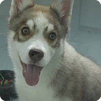 Adopt A Pet :: Yodels - Grants Pass, OR