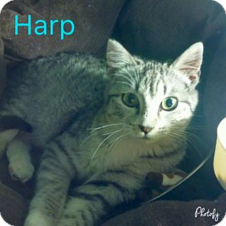 Domestic Shorthair Cat for adoption in Centerton, Arkansas - Harp