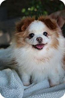 Pomeranian/Pekingese Mix Dog for adoption in Fountain Valley, California - Frappucinno