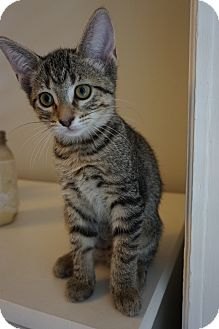 Domestic Shorthair Kitten for adoption in St. Louis, Missouri - Sontag