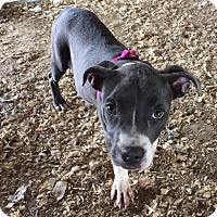 Pit Bull Terrier Mix Puppy for adoption in PLAINFIELD, Indiana - Merryn