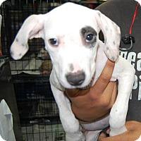 Adopt A Pet :: Karina - Brooklyn, NY