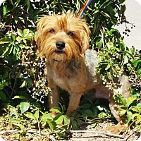 Adopt A Pet :: Perfect Mr Porque ~ Yorkie - Albuquerque, NM