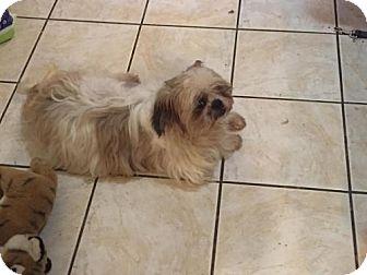 Shih Tzu Dog for adoption in Akron, Ohio - Gruff ADOPTED
