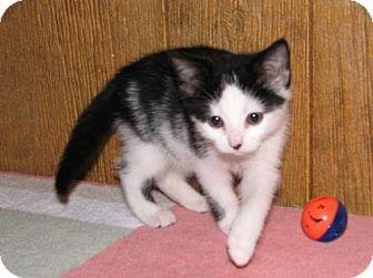 Domestic Shorthair Kitten for adoption in Harrisburg, Pennsylvania - Paniz (baby girl)