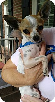 Chihuahua Dog for adoption in Matthews, North Carolina - Pedro