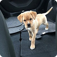 Adopt A Pet :: Poppy - Pending - Sharon Center, OH