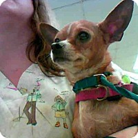 Chihuahua Dog for adoption in Conroe, Texas - LOLLIE