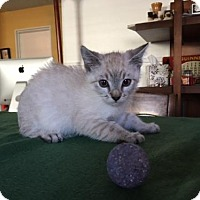 Siamese Kitten for adoption in Long Beach, California - Bob