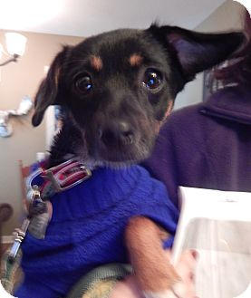 Terrier (Unknown Type, Small)/Miniature Pinscher Mix Dog for adoption in Fort Atkinson, Wisconsin - Felicia