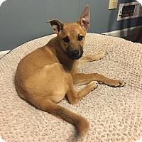 Adopt A Pet :: Bandi - Manhattan, KS