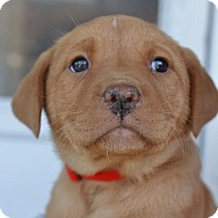 Adopt A Pet :: Amaranth - Danbury, CT