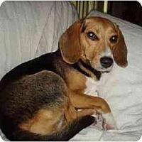 Adopt A Pet :: Liesl - Phoenix, AZ