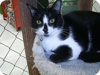 Domestic Shorthair Cat for adoption in Tracy, California - Sophie