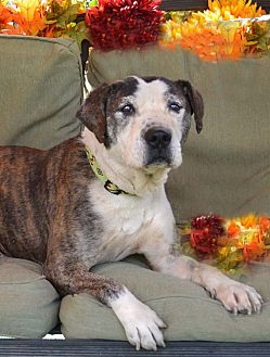American Staffordshire Terrier Mix Dog for adoption in Toluca Lake, California - Moose