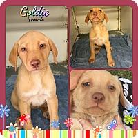 Adopt A Pet :: Goldie meet me 5/13 - Manchester, CT