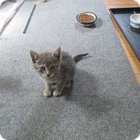 Domestic Shorthair Kitten for adoption in North Plainfield, New Jersey - Tobey