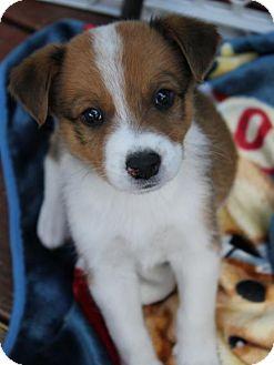 Australian Cattle Dog/Labrador Retriever Mix Puppy for adoption in South Saint Paul, Minnesota - Clover