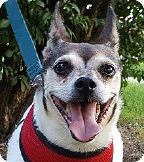 Rat Terrier Dog for adoption in Bloomington, Illinois - Jasmine