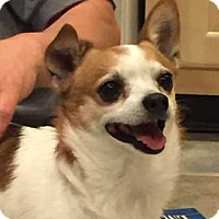 Chihuahua Mix Dog for adoption in Bedminster, New Jersey - Lorenzo