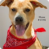Adopt A Pet :: Moose - Baton Rouge, LA