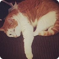 Adopt A Pet :: Shane Fitzgerald Kennedy Cat - Baltimore, MD