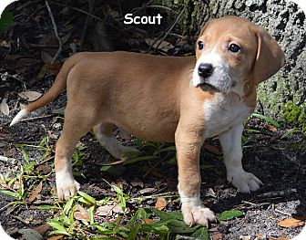 Treeing Walker Coonhound/Catahoula Leopard Dog Mix Puppy for adoption in Lake Pansoffkee, Florida - Scout