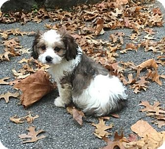 Cavalier King Charles Spaniel/Shih Tzu Mix Puppy for adoption in New Middletown, Ohio - Brooke
