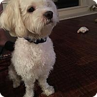 Adopt A Pet :: Nitro - MCKINNEY, TX