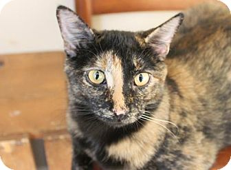 Domestic Shorthair Cat for adoption in Olive Branch, Mississippi - Beyonce