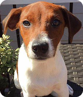 Collie Mix Puppy for adoption in CUMMING, Georgia - Ella