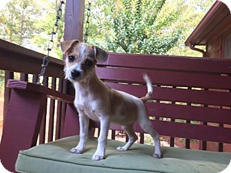 Terrier (Unknown Type, Small) Mix Puppy for adoption in Powder Springs, Georgia - River